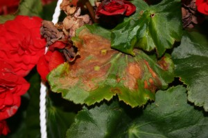Begonia with ringspots on foliage