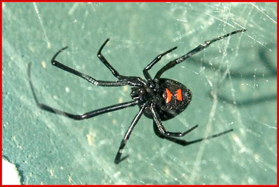 Northern Black Widow Spider (Latrodectus variolus) - Plant & Pest Diagnostics