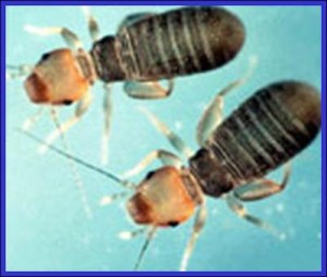 Adult Book Lice or Psocids