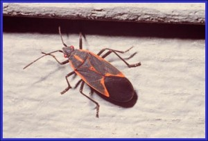 Box Elder Bug Adult