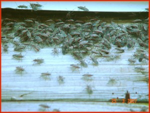 Box Elder Bug Swarm