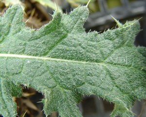 Bull thistle leaf surface
