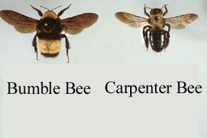 Carpenter bee to bumble bee comparison