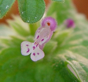 Close up of Henbit flower