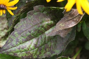 Close-up of infected Rudbeckia leaf