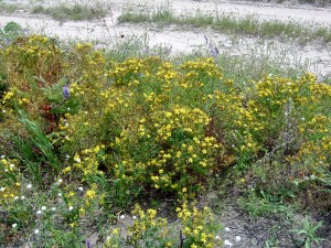 Common-St.-Johnswort-in-a-field-300x225