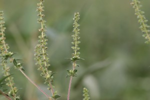 Common-ragweed-flowering-branch-300x200