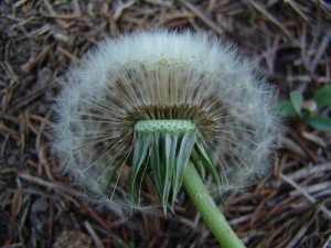 Dandelion-mature-flower-300x225