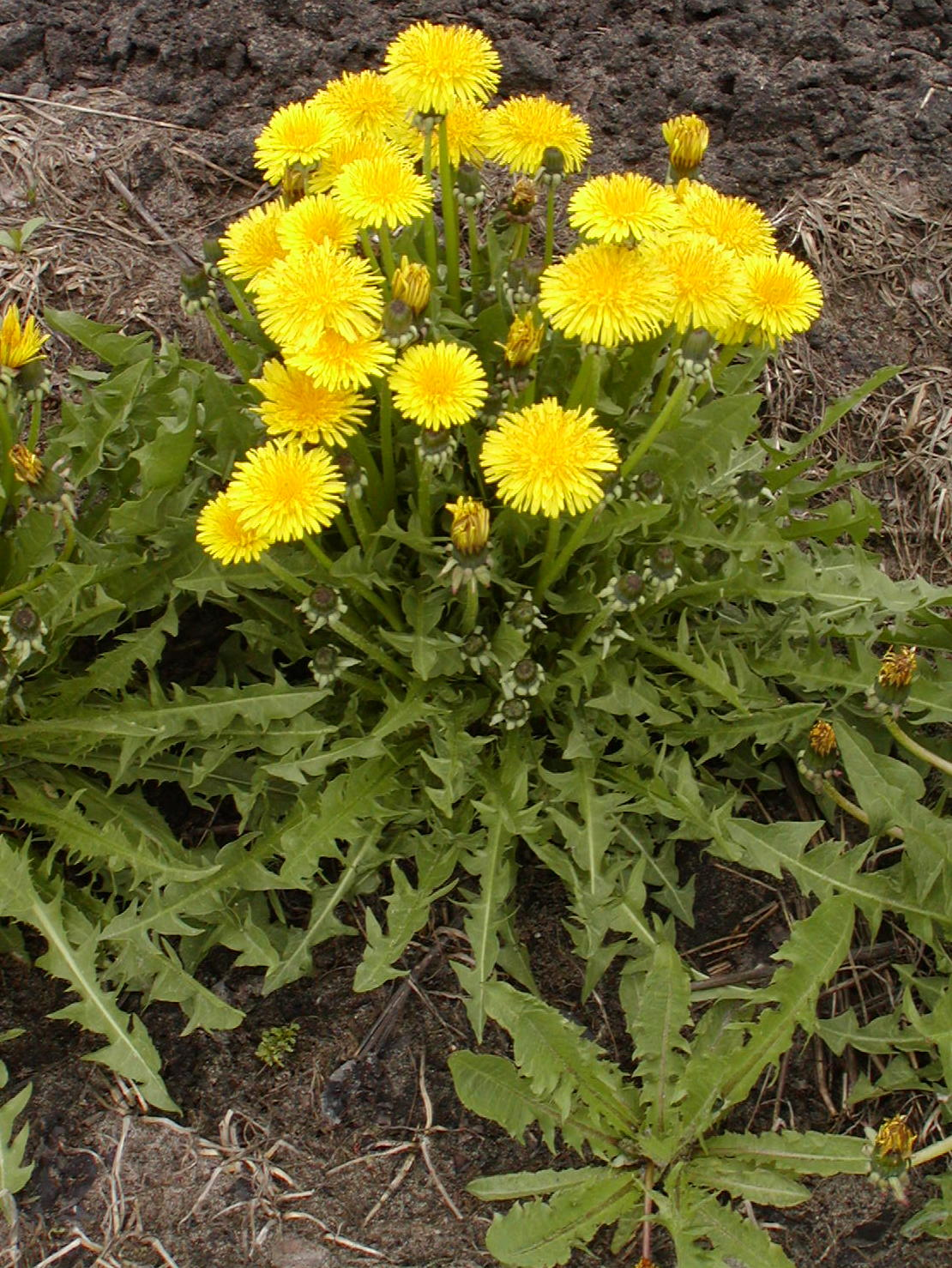 Dandelion - Taraxacum officinale - Plant & Pest Diagnostics