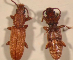 Sawtoothed grain beetle adult dorsal and ventral view