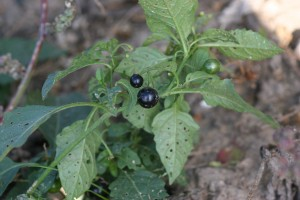 Eastern black nightshade fruit