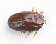 Engorged Female Brown Dog Tick