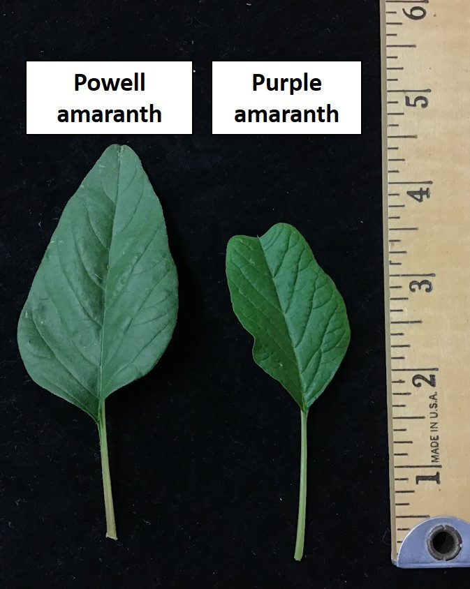 Purple amaranth (left) and powell amaranth (right)