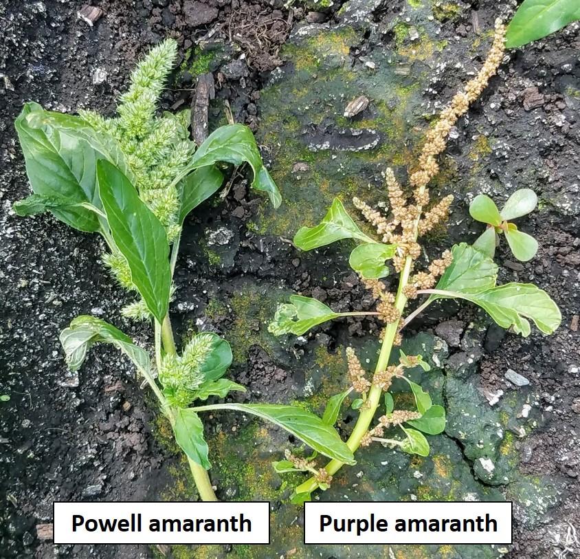 Powell vs Purple flowers
