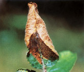 Foliar Damage Caused by an Apple Leaf Skeletonizer Moth