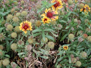 Gaillardia planting infected with Entyloma polysporum