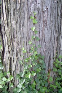 Ivy growing on tree