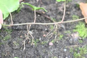 Ivy rooting at nodes