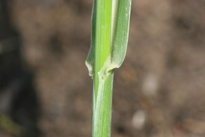 Johnsongrass-ligule-300x200