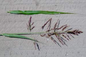 Johnsongrass-seedhead-300x200