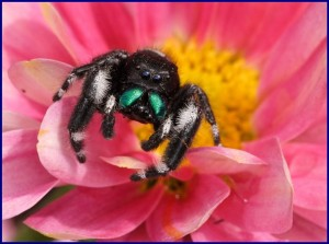 Jumping spider on pink flower