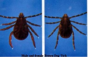 Brown Dog Tick Male and Female compared