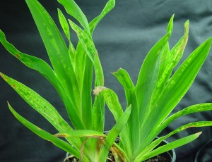 Mottling-of-lily-foliage-infected-with-CMV-300x230