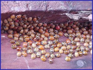 Congregating Multicolored Asian Lady Beetle Adults preparing for overwintering