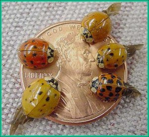 Multicolored Asian Lady Beetle Adults On A Penny