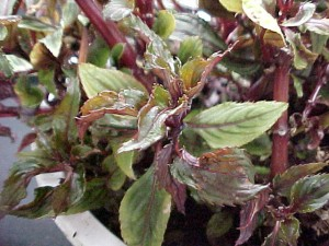New Guinea impatiens foliage showing mottling and distortion