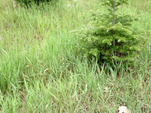 Patch of quackgrass