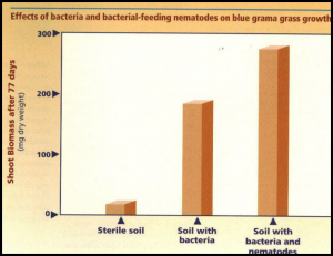 Graph demonstrating improved growth of a blue grama grass in the presence of bacteria and bacterial-feeding nematodes compared to sterile soil.