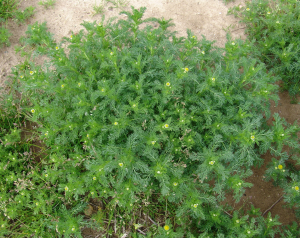 Pineapple-weed-plant501-300x238