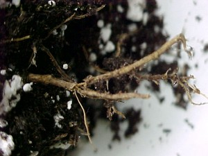 Rotted-discolored-roots-infected-with-Phytophthora-root-rot-300x225