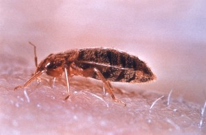 Bed Bug side view