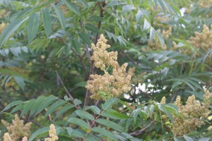 Staghorn-sumac-flower-300x200