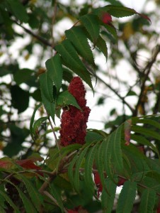 Staghorn-sumac-fruit-226x300