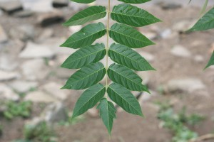 Tree-of-heaven-leaf-300x200