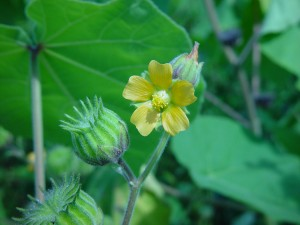 Velvetleaf-fruit-flower-300x225