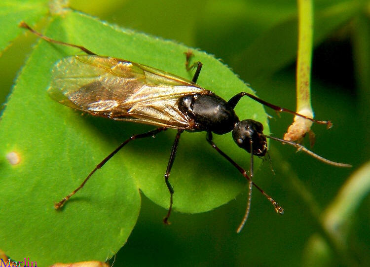 Winged Carpenter Ants Plant Pest Diagnostics