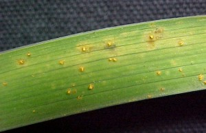 Yellow orange pustules caused by daylily rust