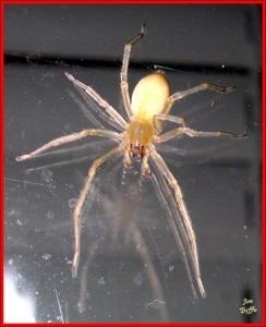Yellow sac spider on mirror