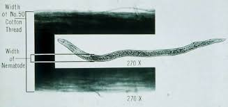 Size comparison of a nematode to cotton thread