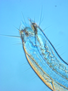Close-up of a marine nematode head