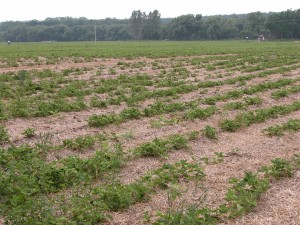 Strawberry planting infested with nematodes