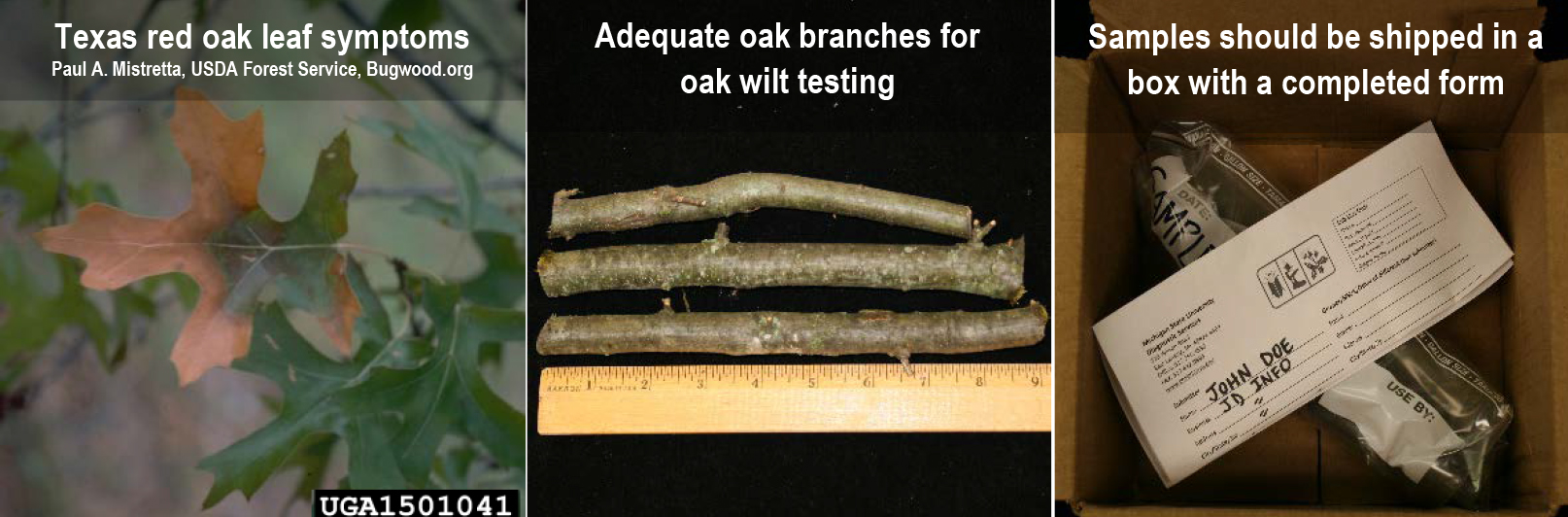 Oak wilt do's