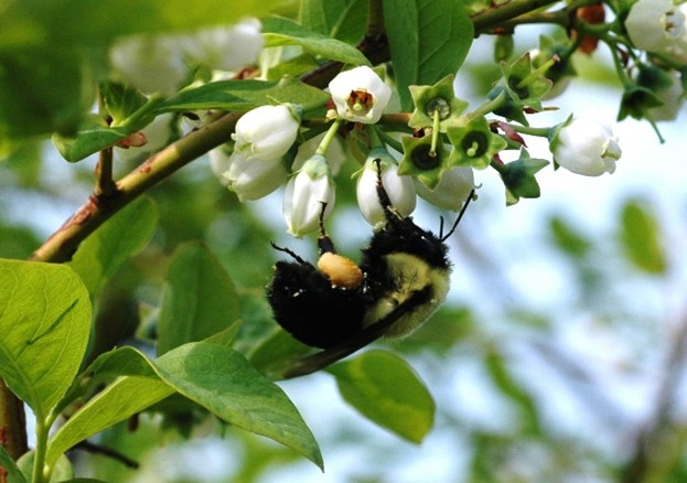 Bumble bee pollinating a blueberry blossom