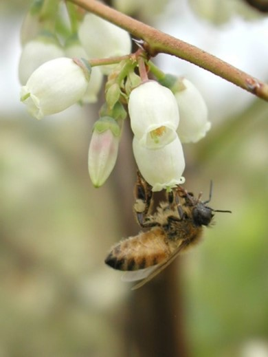 Honey bee pollinating a blueberry blossom