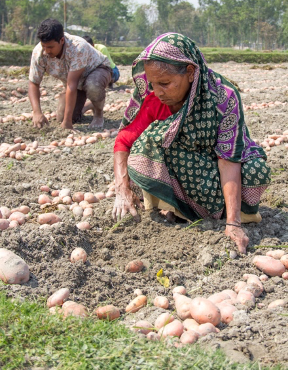 Woman picking potatoes out of ground