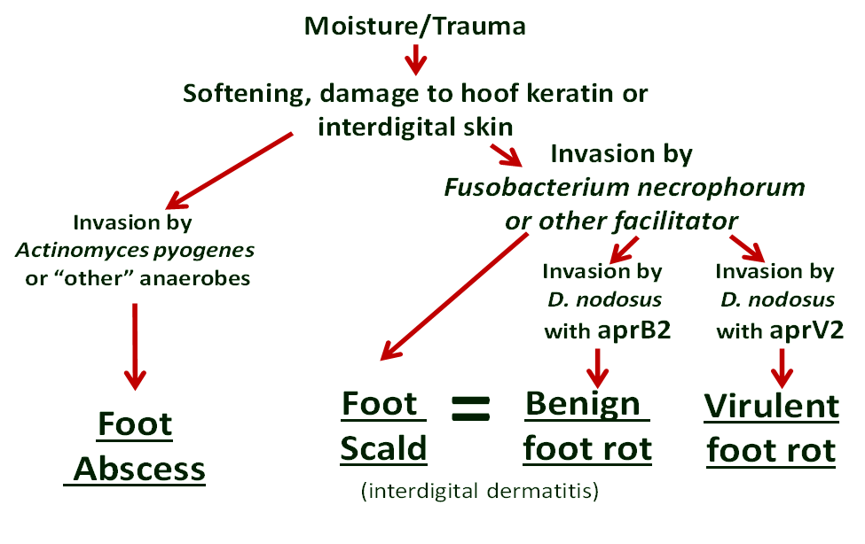 foot rot and scald diagram